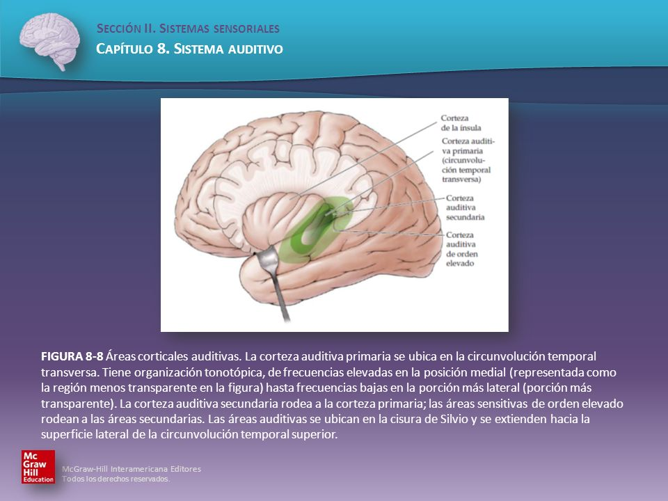 FIGURA 8-8 Áreas corticales auditivas