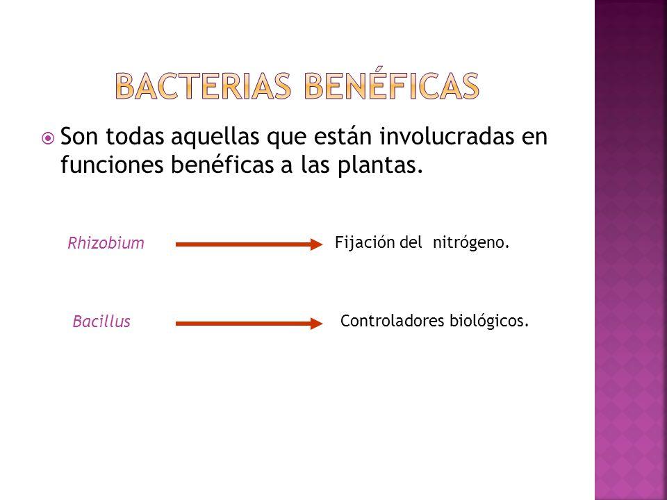 Bacterias benéficas Son todas aquellas que están involucradas en funciones benéficas a las plantas.