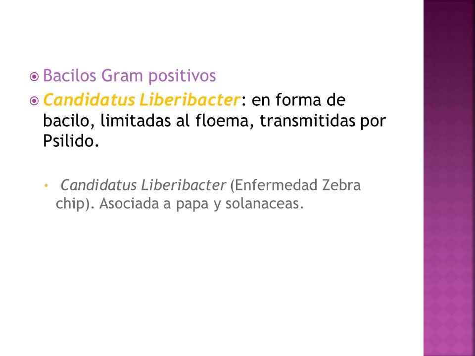 Bacilos Gram positivos