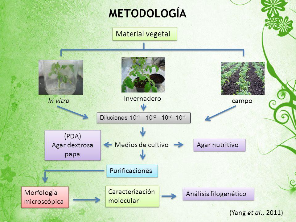 METODOLOGÍA Material vegetal Invernadero In vitro campo (PDA)