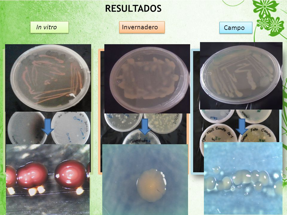 RESULTADOS In vitro. Invernadero. Campo.