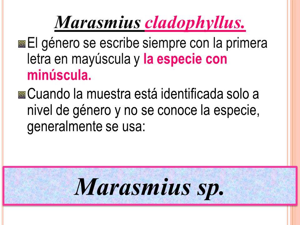 Marasmius cladophyllus.