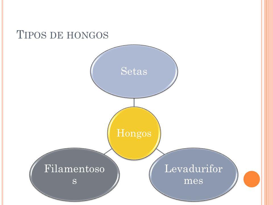 Tipos de hongos Hongos Setas Levaduriformes Filamentosos