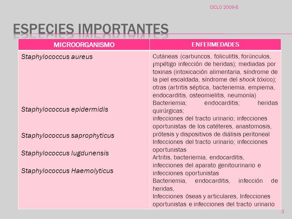 ESPECIES IMPORTANTES MICROORGANISMO Staphylococcus aureus