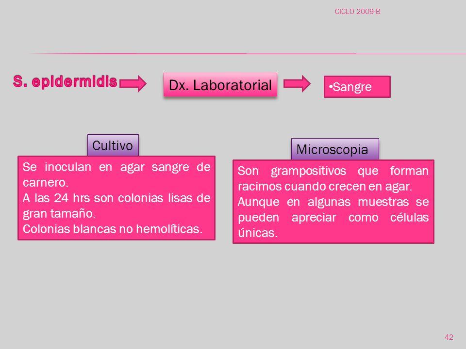 S. epidermidis Dx. Laboratorial Cultivo Microscopia Sangre