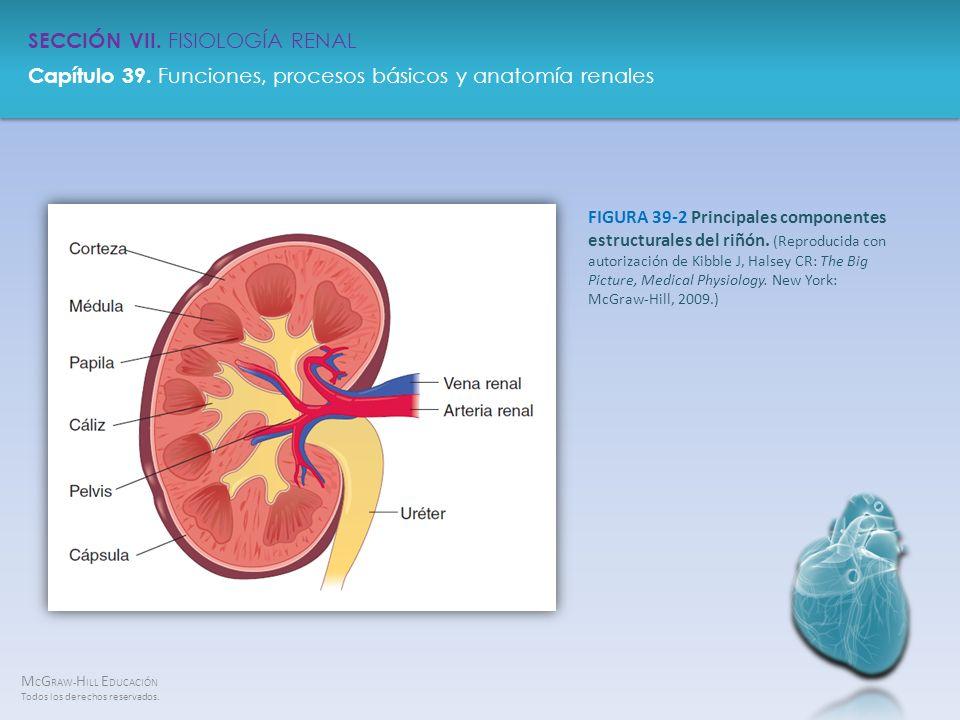 FIGURA 39-2 Principales componentes estructurales del riñón