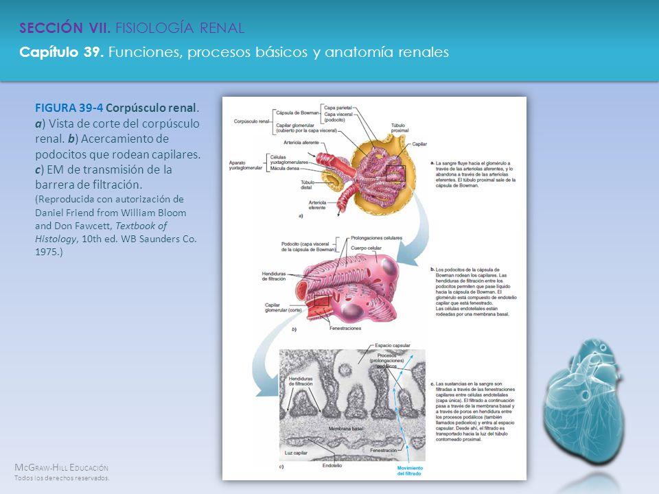 FIGURA 39-4 Corpúsculo renal. a) Vista de corte del corpúsculo renal