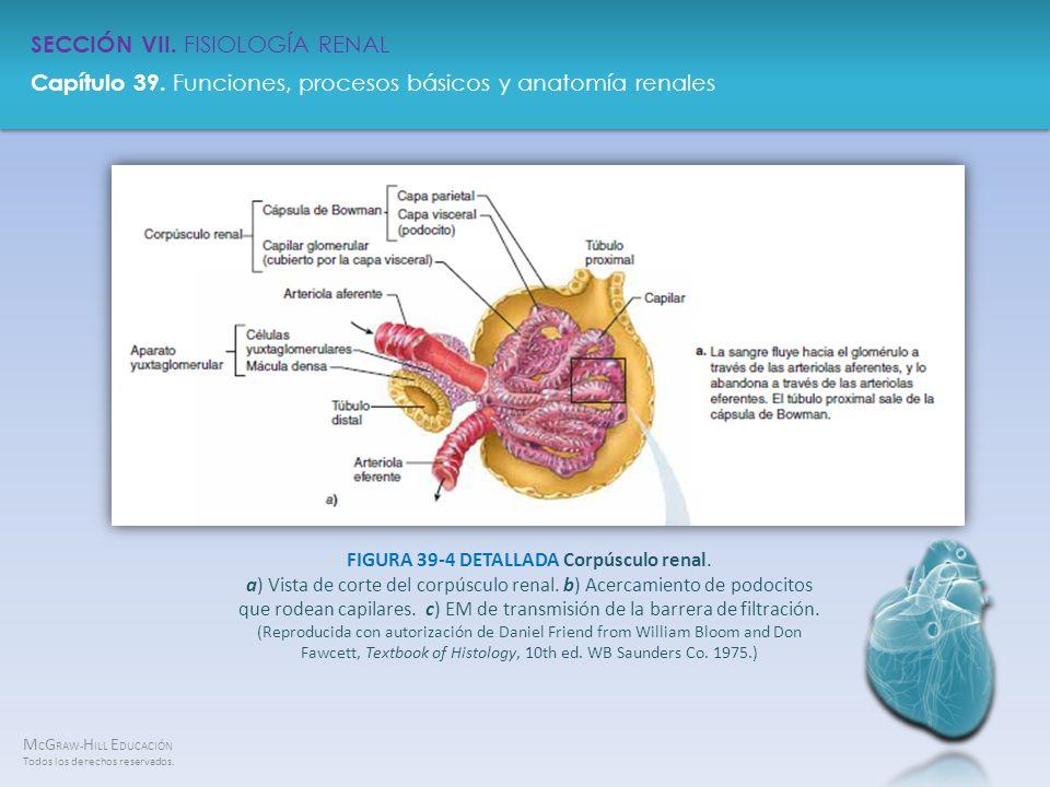 FIGURA 39-4 DETALLADA Corpúsculo renal
