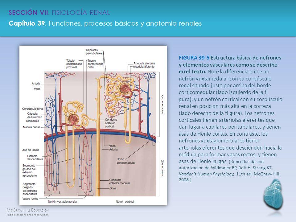 FIGURA 39-5 Estructura básica de nefrones y elementos vasculares como se describe en el texto.