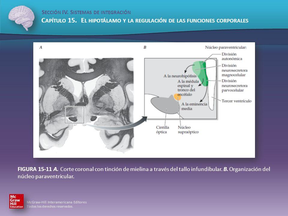FIGURA 15-11 A.Corte coronal con tinción de mielina a través del tallo infundibular.