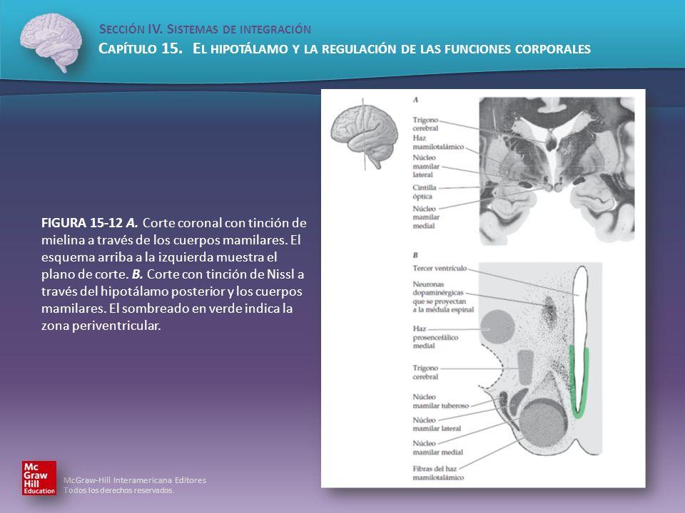 FIGURA 15-12 A.Corte coronal con tinción de mielina a través de los cuerpos mamilares.