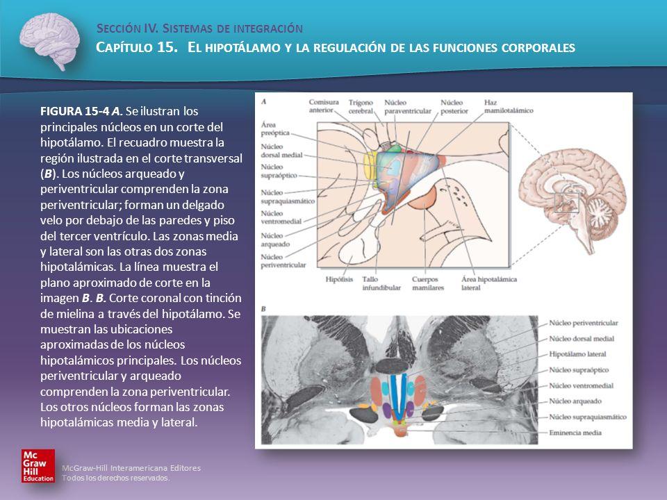 FIGURA 15-4 A.Se ilustran los principales núcleos en un corte del hipotálamo.