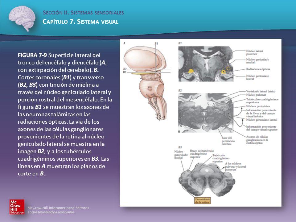 FIGURA 7-9 Superficie lateral del tronco del encéfalo y diencéfalo (A; con extirpación del cerebelo).
