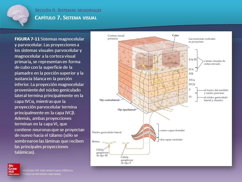 FIGURA 7-11 Sistemas magnocelular y parvocelular