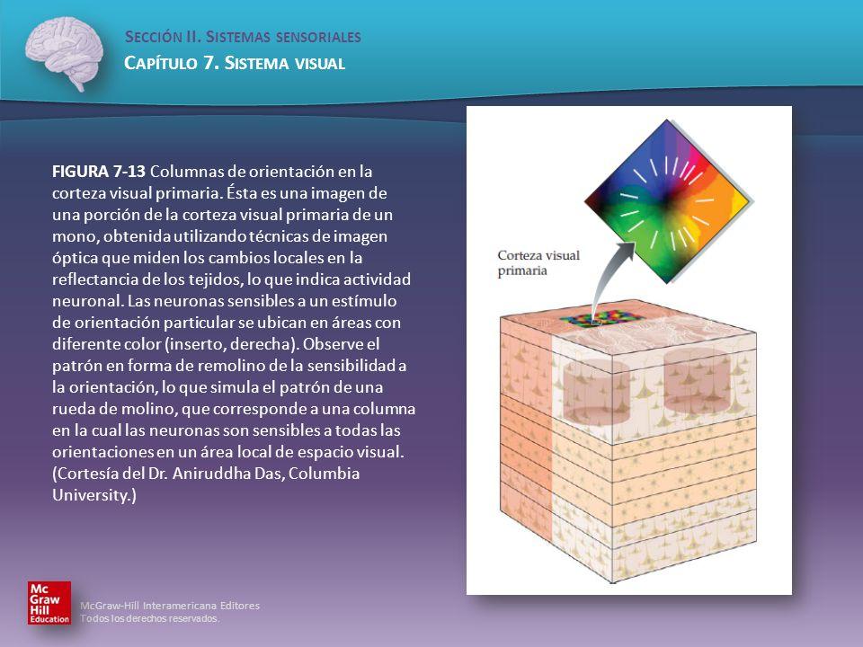 FIGURA 7-13 Columnas de orientación en la corteza visual primaria