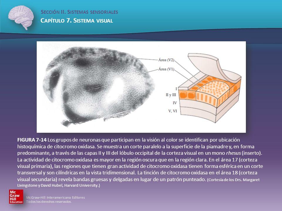 FIGURA 7-14 Los grupos de neuronas que participan en la visión al color se identifican por ubicación histoquímica de citocromo oxidasa.