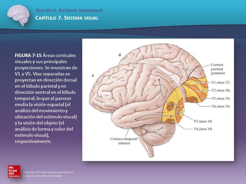 FIGURA 7-15 Áreas corticales visuales y sus principales proyecciones