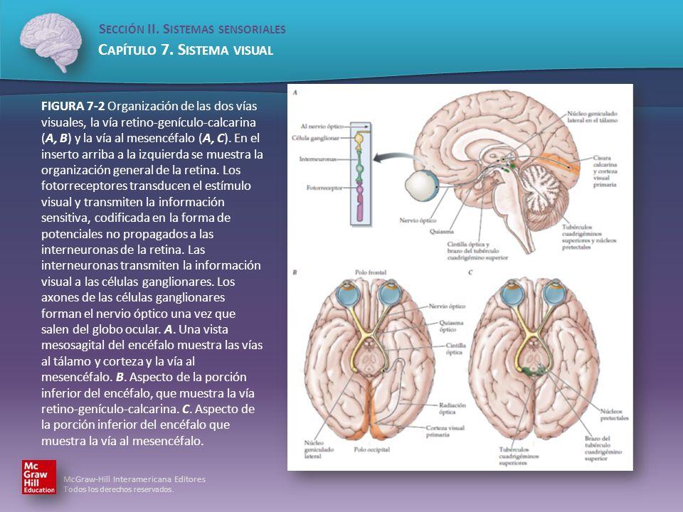 FIGURA 7-2 Organización de las dos vías visuales, la vía retino-genículo-calcarina (A, B) y la vía al mesencéfalo (A, C).