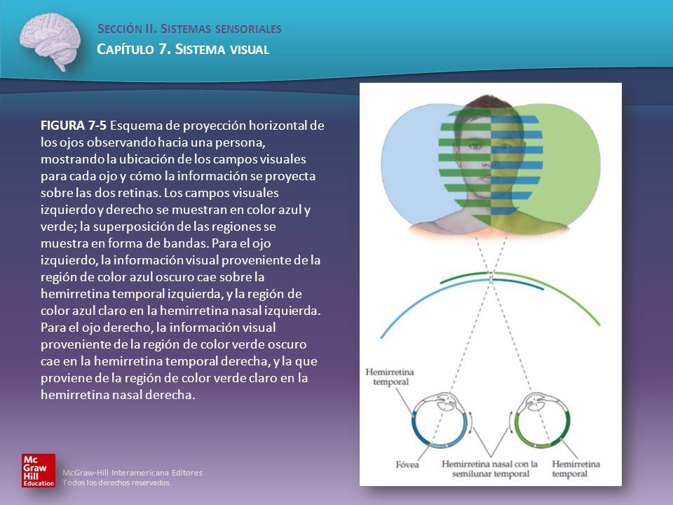 FIGURA 7-5 Esquema de proyección horizontal de los ojos observando hacia una persona, mostrando la ubicación de los campos visuales para cada ojo y cómo la información se proyecta sobre las dos retinas.