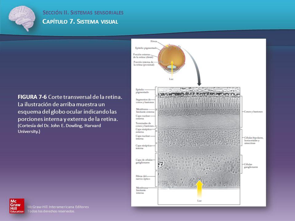 FIGURA 7-6 Corte transversal de la retina