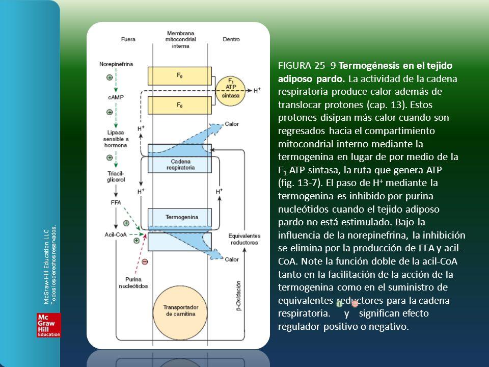 FIGURA 25–9 Termogénesis en el tejido adiposo pardo