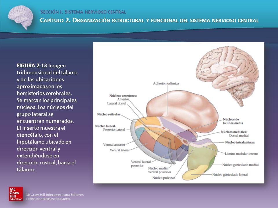 FIGURA 2-13 Imagen tridimensional del tálamo y de las ubicaciones aproximadas en los hemisferios cerebrales.
