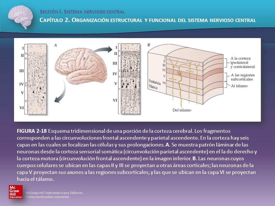 FIGURA 2-18 Esquema tridimensional de una porción de la corteza cerebral.