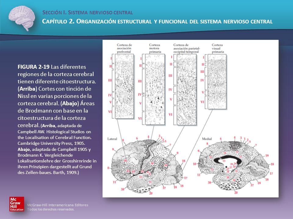 FIGURA 2-19 Las diferentes regiones de la corteza cerebral tienen diferente citoestructura.