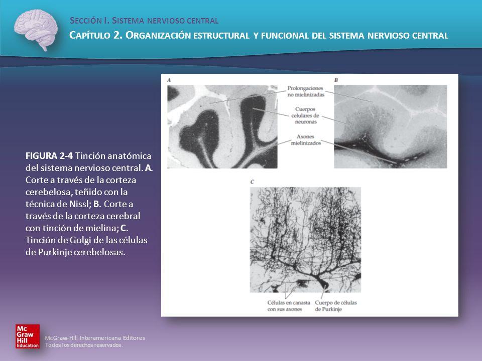 FIGURA 2-4 Tinción anatómica del sistema nervioso central. A