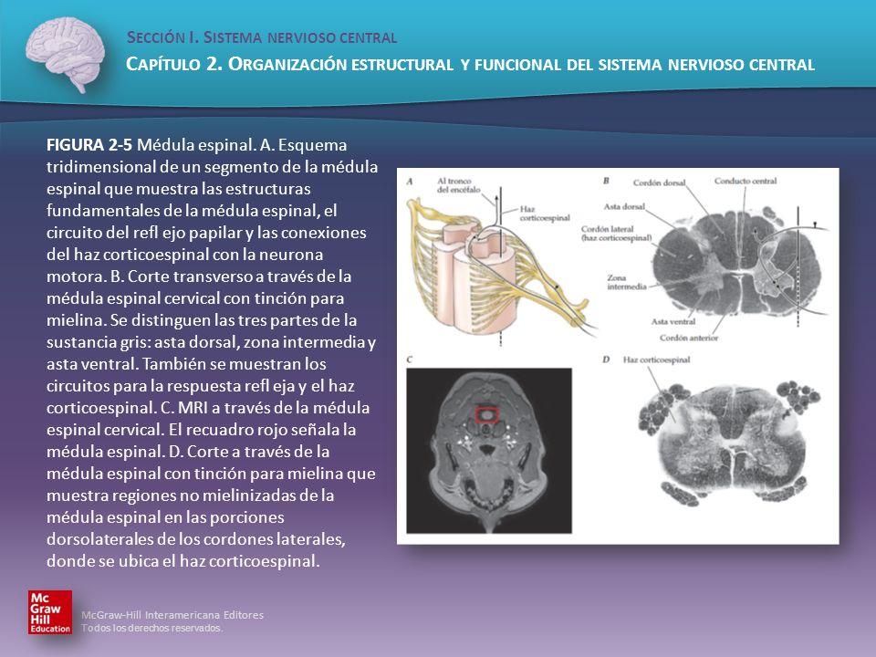 FIGURA 2-5 Médula espinal. A