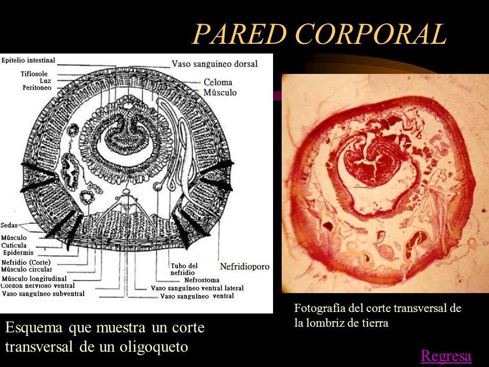 Excepcional Diagrama Anatomía Externa Lombriz De Tierra Elaboración ...