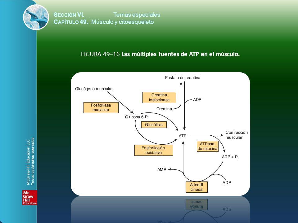 FIGURA 49–16 Las múltiples fuentes de ATP en el músculo.