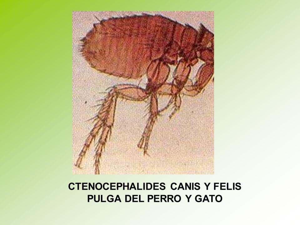 CTENOCEPHALIDES CANIS Y FELIS