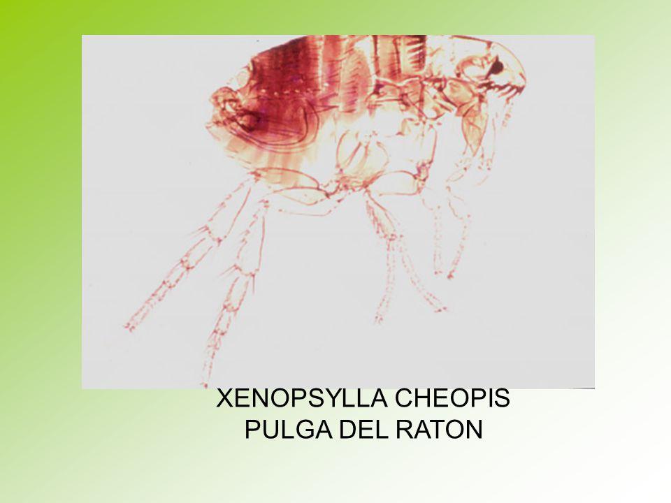 XENOPSYLLA CHEOPIS PULGA DEL RATON