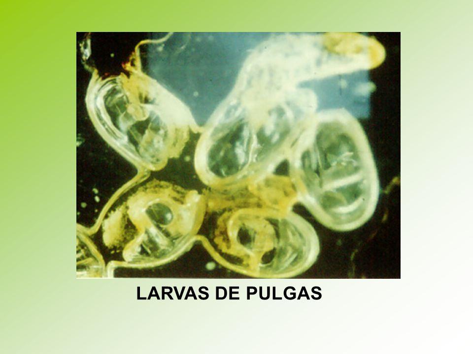 LARVAS DE PULGAS