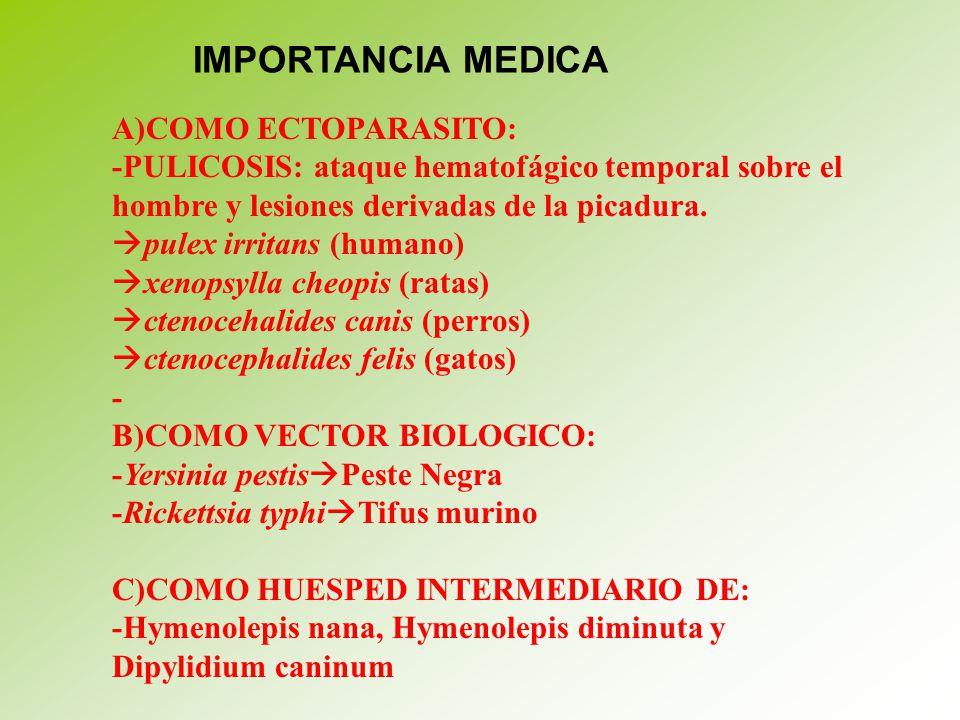 IMPORTANCIA MEDICA A)COMO ECTOPARASITO: