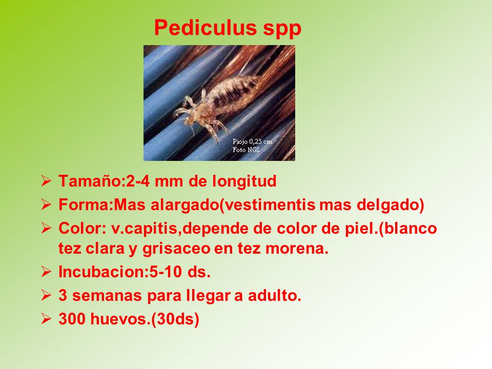 Pediculus spp Tamaño:2-4 mm de longitud