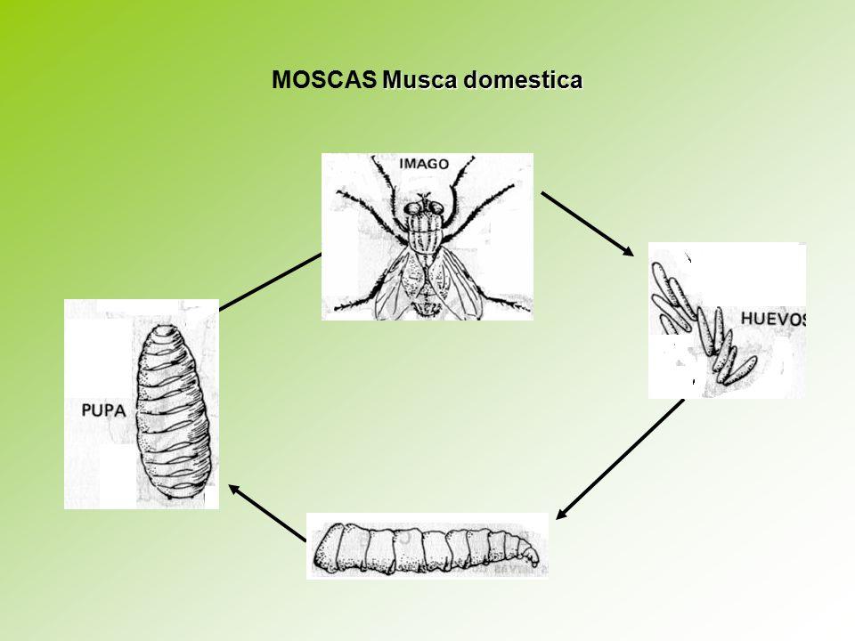 MOSCAS Musca domestica