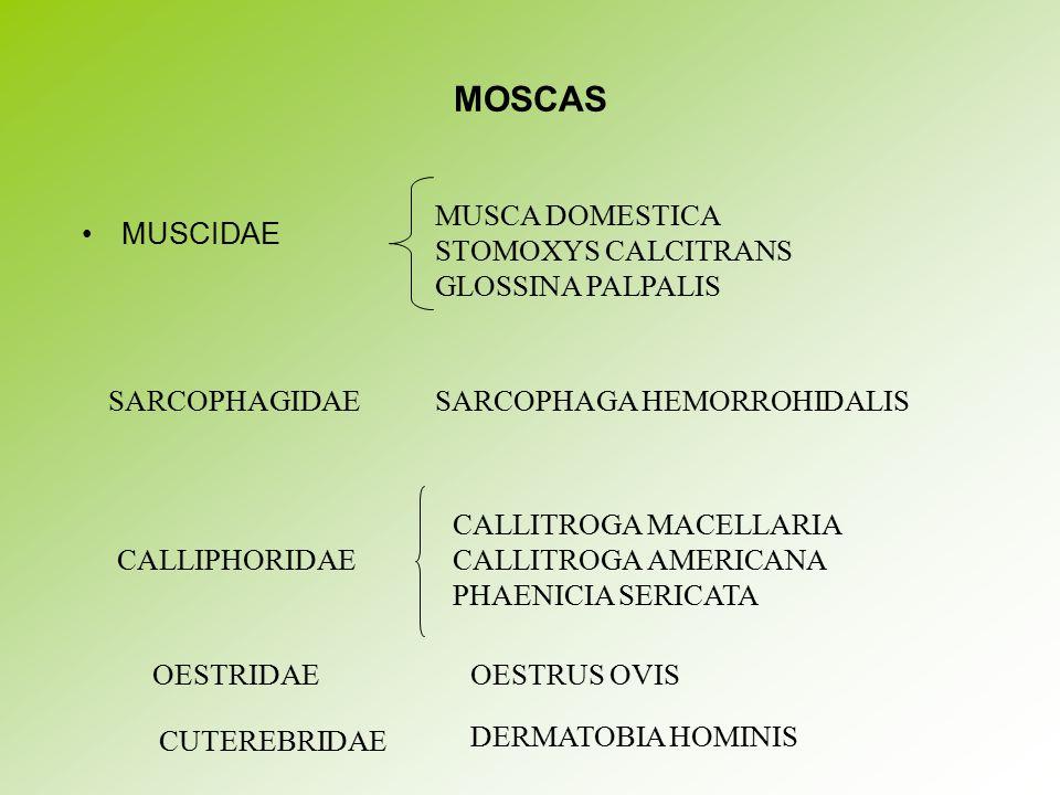 MOSCAS MUSCIDAE MUSCA DOMESTICA STOMOXYS CALCITRANS GLOSSINA PALPALIS