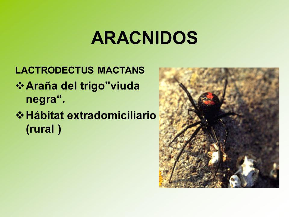 ARACNIDOS Araña del trigo viuda negra .