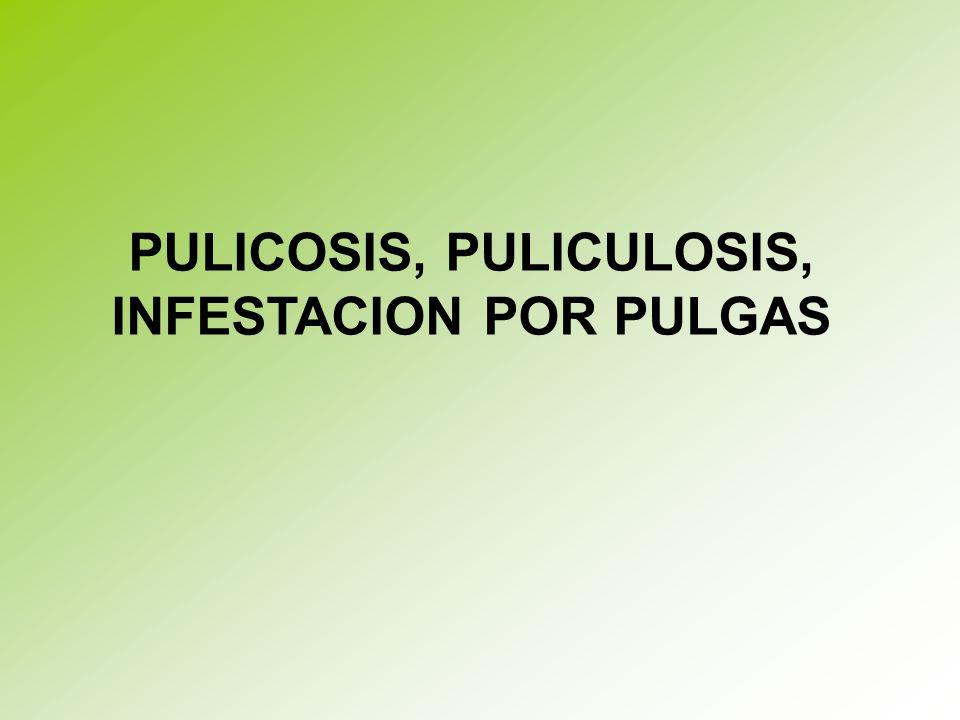 PULICOSIS, PULICULOSIS, INFESTACION POR PULGAS