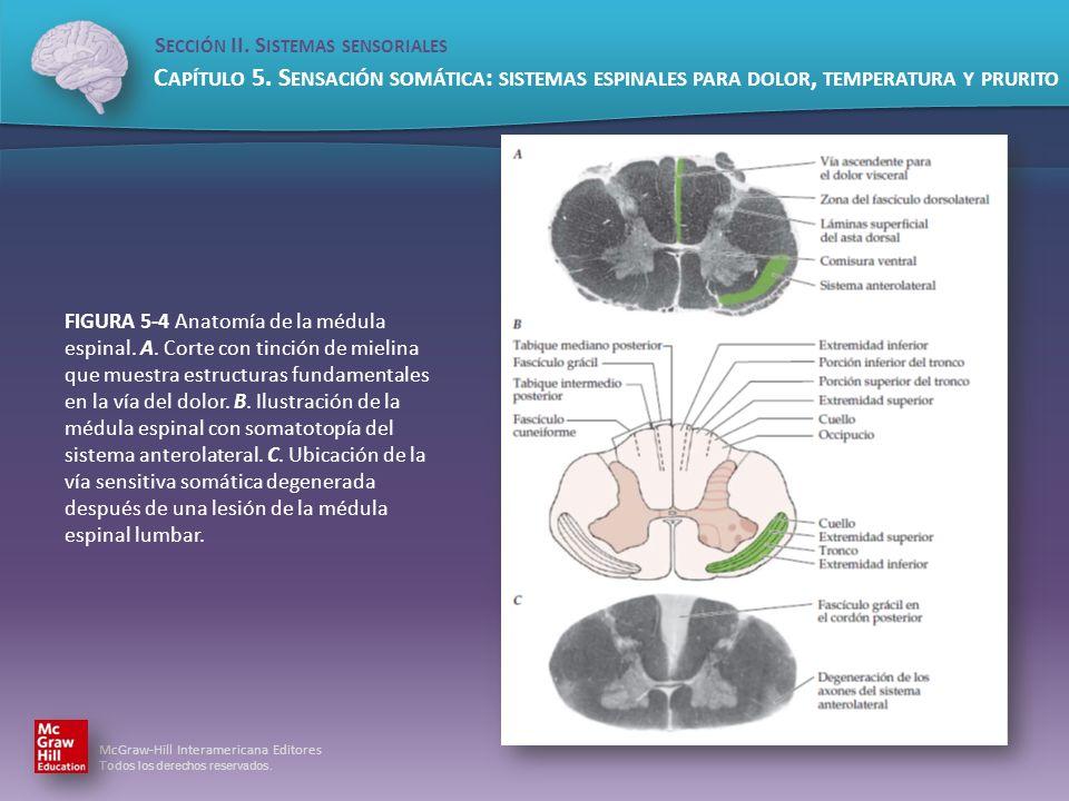 FIGURA 5-4 Anatomía de la médula espinal. A
