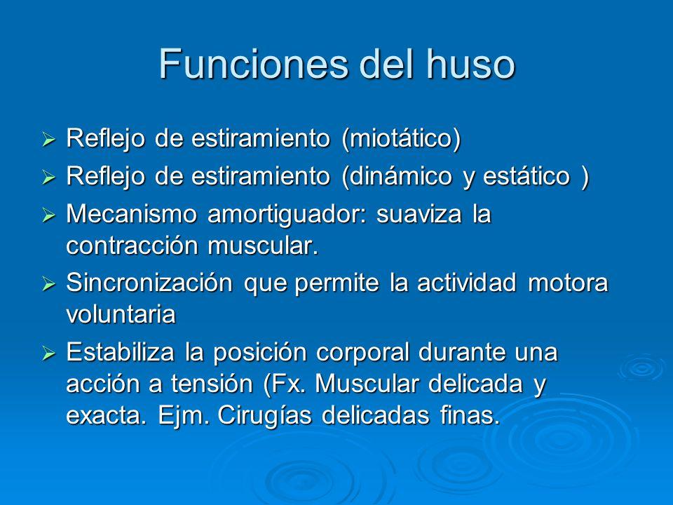 Funciones del huso Reflejo de estiramiento (miotático)