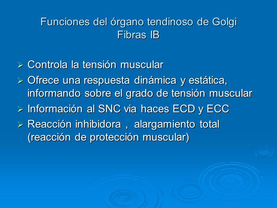 Funciones del órgano tendinoso de Golgi Fibras IB