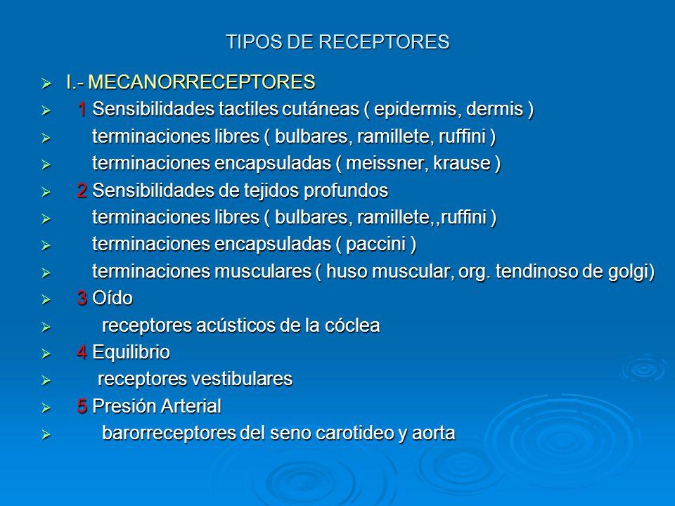 TIPOS DE RECEPTORES I.- MECANORRECEPTORES. 1 Sensibilidades tactiles cutáneas ( epidermis, dermis )