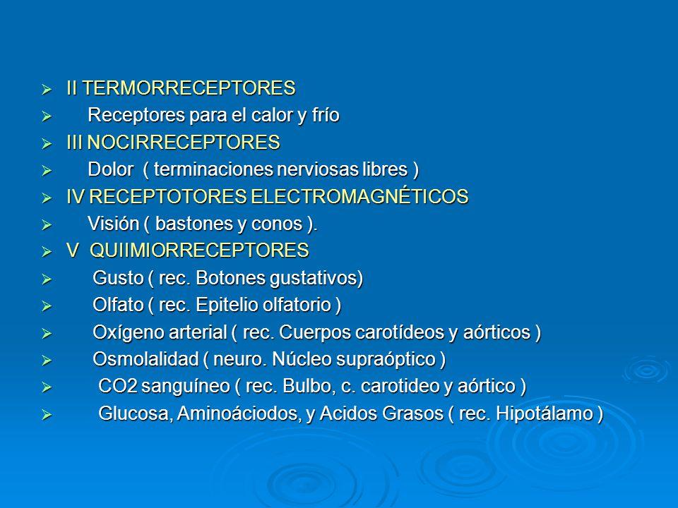 II TERMORRECEPTORES Receptores para el calor y frío. III NOCIRRECEPTORES. Dolor ( terminaciones nerviosas libres )