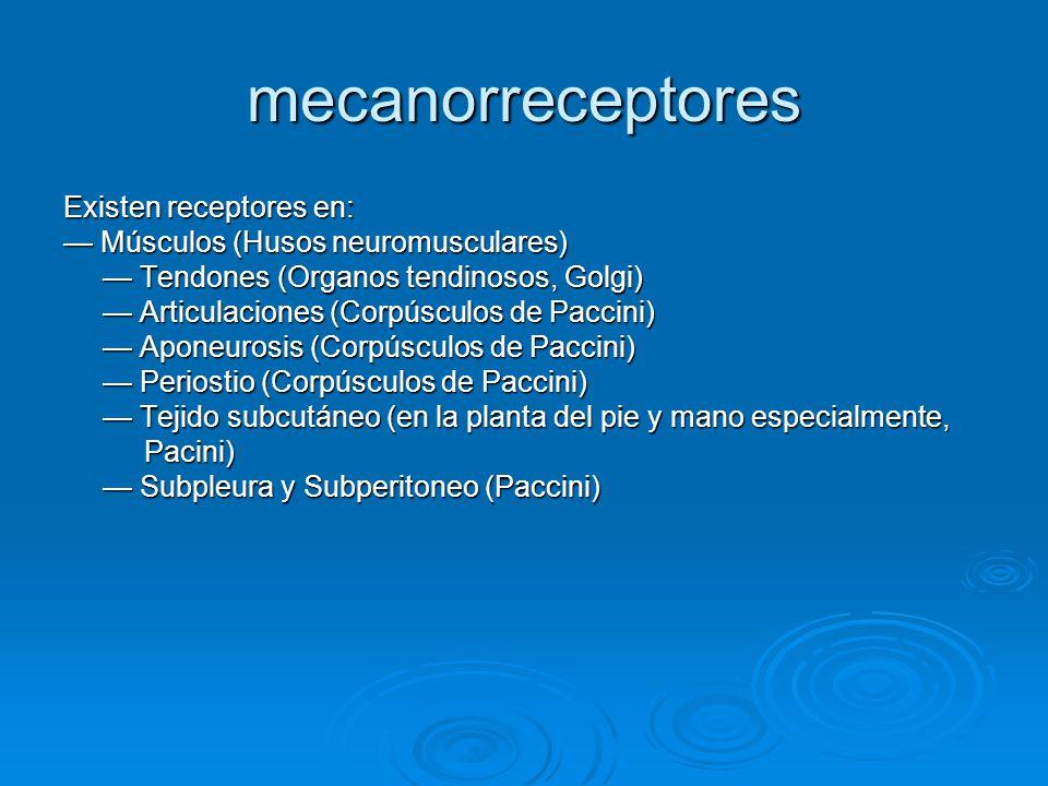 mecanorreceptores Existen receptores en: