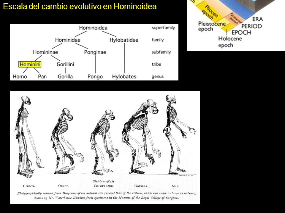 Escala del cambio evolutivo en Hominoidea
