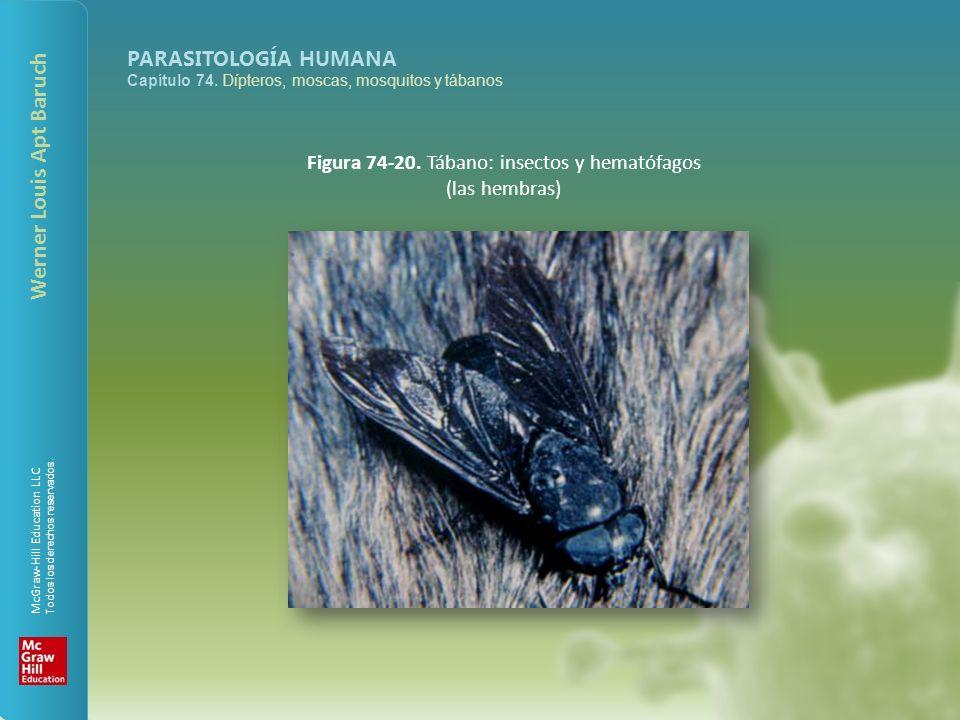 Figura 74-20. Tábano: insectos y hematófagos (las hembras)