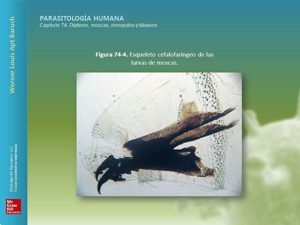 Figura 74-4. Esqueleto cefalofaríngeo de las larvas de moscas.